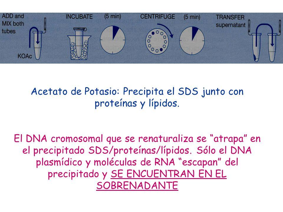 Acetato de Potasio: Precipita el SDS junto con proteínas y lípidos. El DNA cromosomal que se renaturaliza se atrapa en el precipitado SDS/proteínas/lí