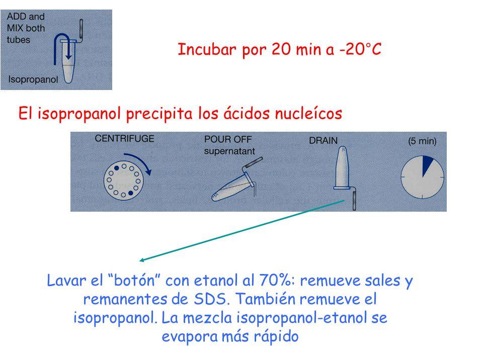 El isopropanol precipita los ácidos nucleícos Incubar por 20 min a -20°C Lavar el botón con etanol al 70%: remueve sales y remanentes de SDS. También