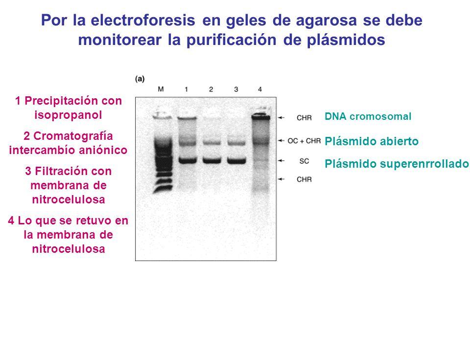 Por la electroforesis en geles de agarosa se debe monitorear la purificación de plásmidos DNA cromosomal Plásmido abierto Plásmido superenrrollado 1 P