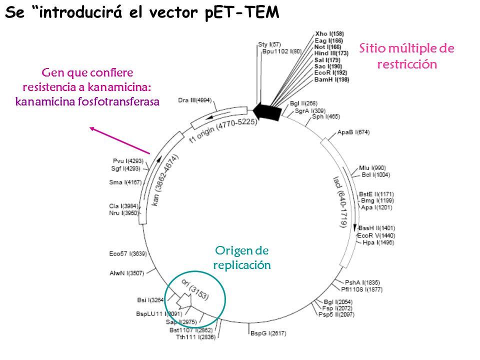 Se introducirá el vector pET-TEM Sitio múltiple de restricción Origen de replicación Gen que confiere resistencia a kanamicina: kanamicina fosfotransf