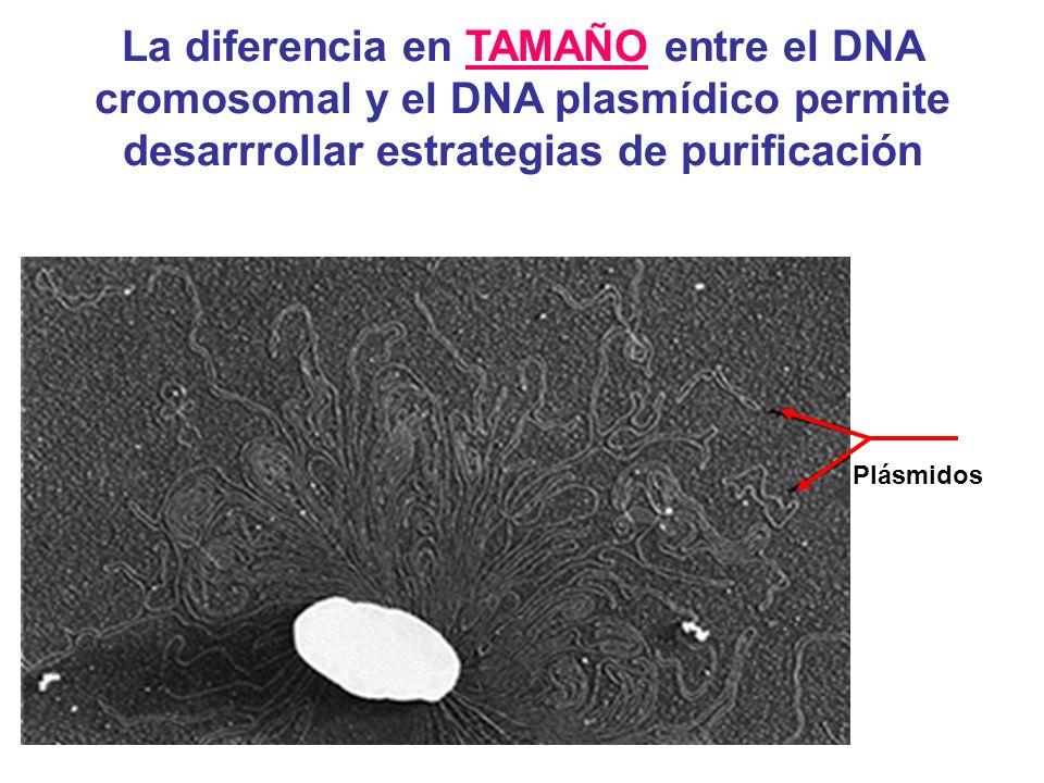 Plásmidos La diferencia en TAMAÑO entre el DNA cromosomal y el DNA plasmídico permite desarrrollar estrategias de purificación