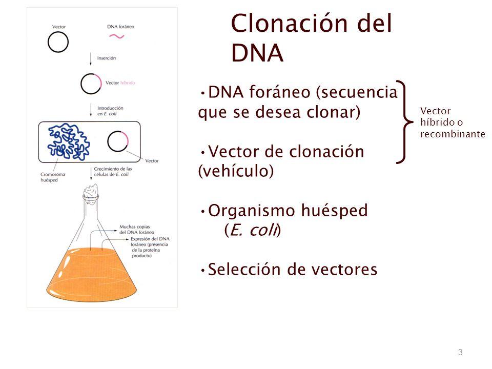 3 Clonación del DNA DNA foráneo (secuencia que se desea clonar) Vector de clonación (vehículo) Organismo huésped (E. coli) Selección de vectores Vecto