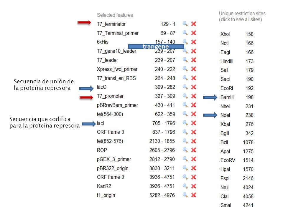 trangene Secuencia que codifica para la proteína represora Secuencia de unión de la proteína represora