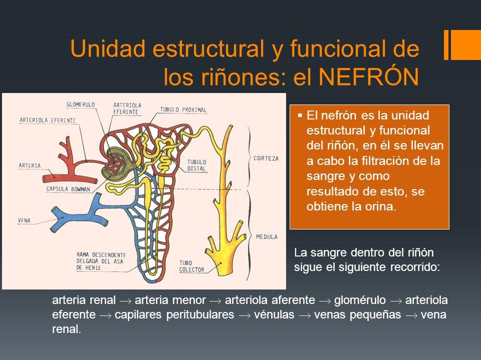Unidad estructural y funcional de los riñones: el NEFRÓN El nefrón es la unidad estructural y funcional del riñón, en él se llevan a cabo la filtració