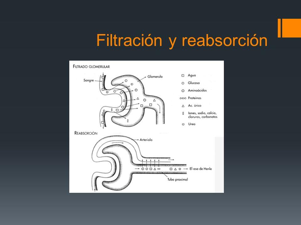 Filtración y reabsorción