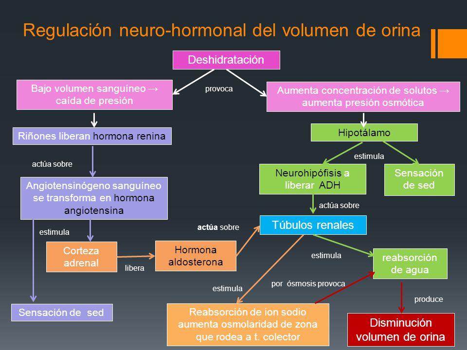 Regulación neuro-hormonal del volumen de orina Deshidratación Riñones liberan hormona renina Hipotálamo Aumenta concentración de solutos aumenta presi