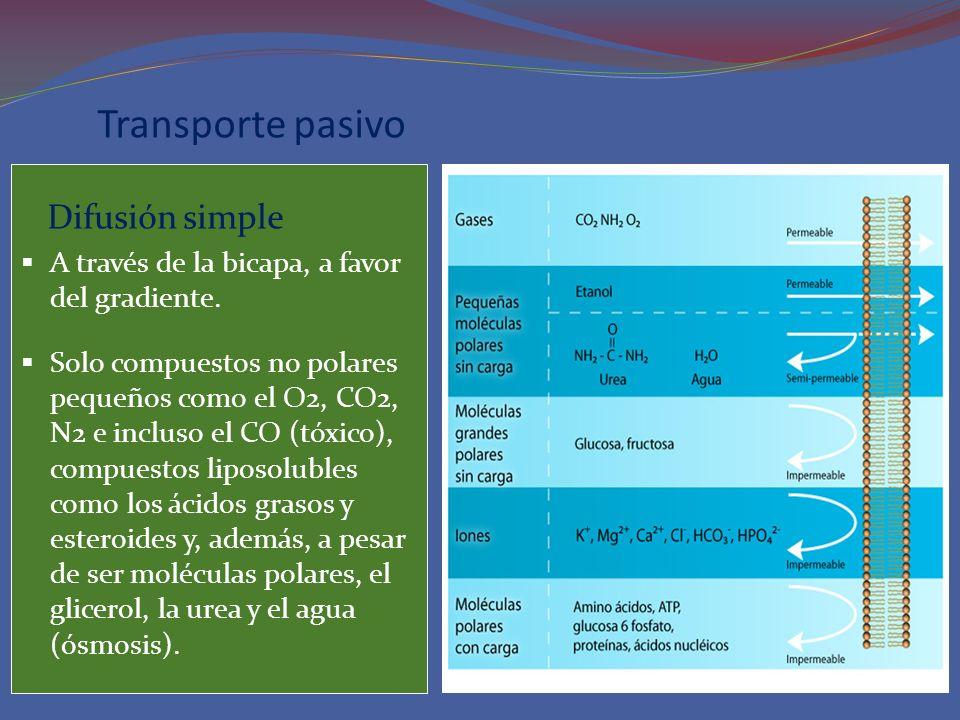 Transporte pasivo Difusión simple A través de la bicapa, a favor del gradiente. Solo compuestos no polares pequeños como el O2, CO2, N2 e incluso el C
