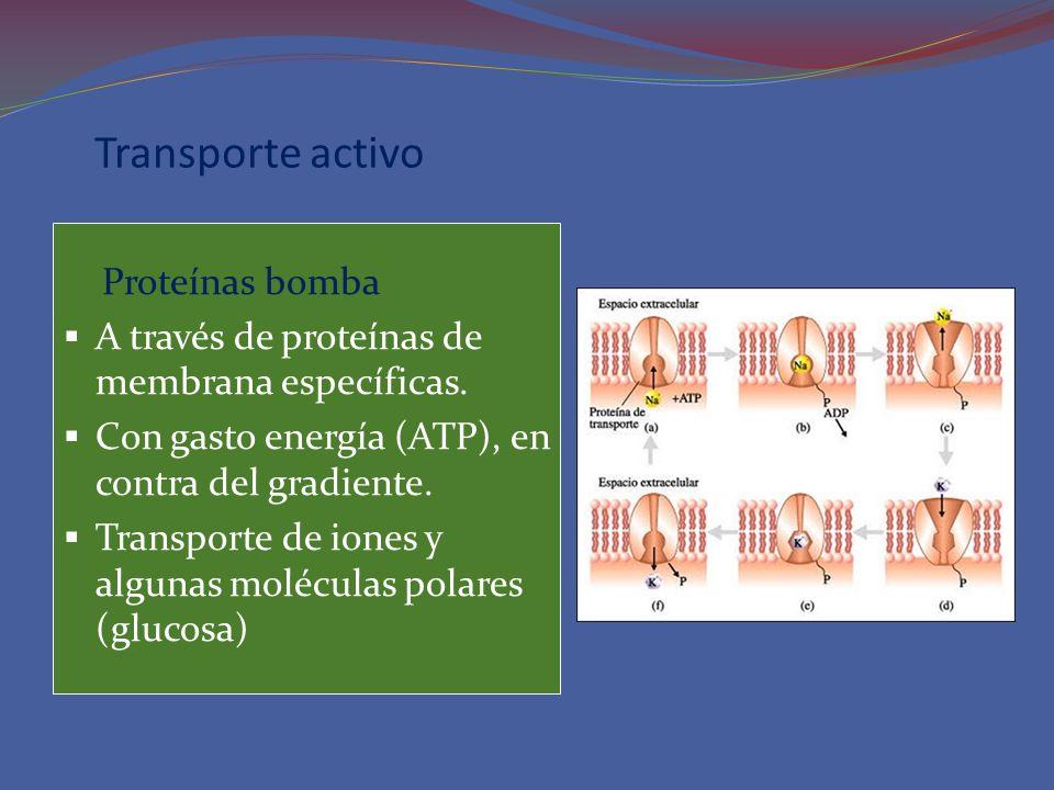 Transporte activo Proteínas bomba A través de proteínas de membrana específicas. Con gasto energía (ATP), en contra del gradiente. Transporte de iones