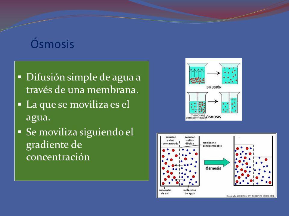 Ósmosis Difusión simple de agua a través de una membrana. La que se moviliza es el agua. Se moviliza siguiendo el gradiente de concentración