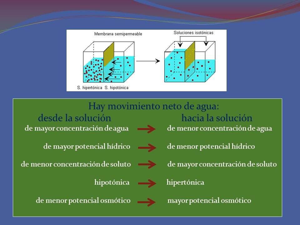 Hay movimiento neto de agua: desde la solución hacia la solución de mayor concentración de agua de menor concentración de agua de mayor potencial hídr