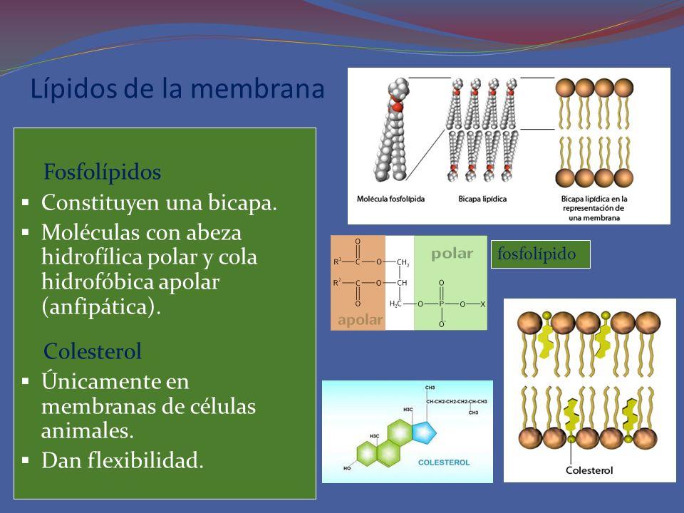 Lípidos de la membrana Fosfolípidos Constituyen una bicapa. Moléculas con abeza hidrofílica polar y cola hidrofóbica apolar (anfipática). Colesterol Ú