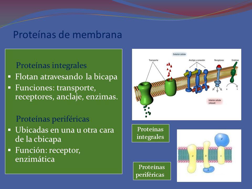 Proteínas de membrana Proteínas integrales Flotan atravesando la bicapa Funciones: transporte, receptores, anclaje, enzimas. Proteínas periféricas Ubi