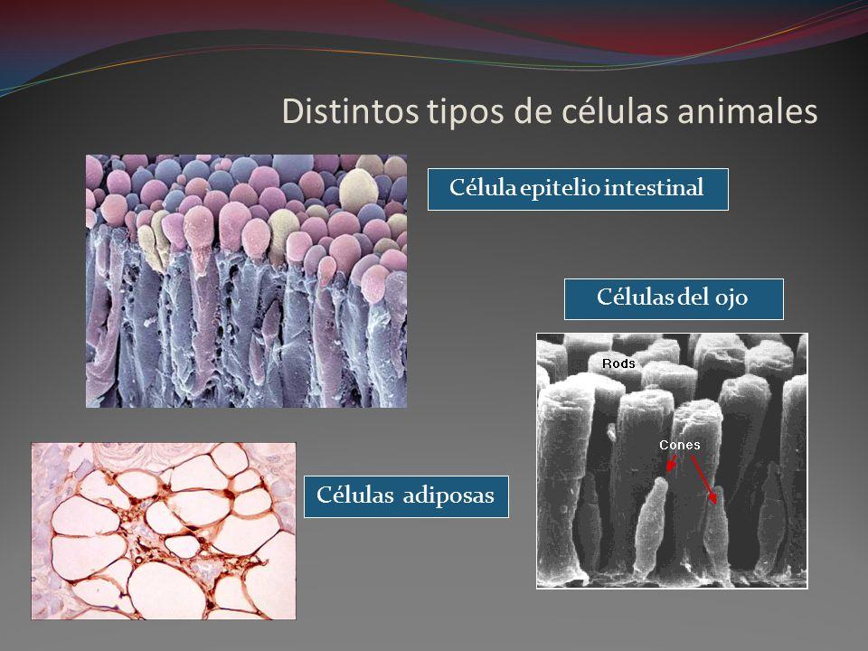 Distintos tipos de células animales Célula epitelio intestinal Células del ojo Células adiposas