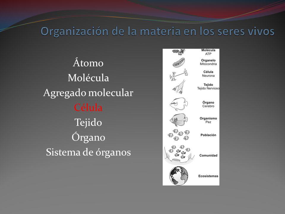 Átomo Molécula Agregado molecular Célula Tejido Órgano Sistema de órganos