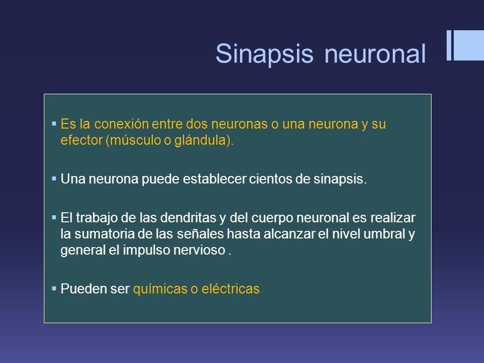 Sinapsis neuronal Es la conexión entre dos neuronas o una neurona y su efector (músculo o glándula). Una neurona puede establecer cientos de sinapsis.