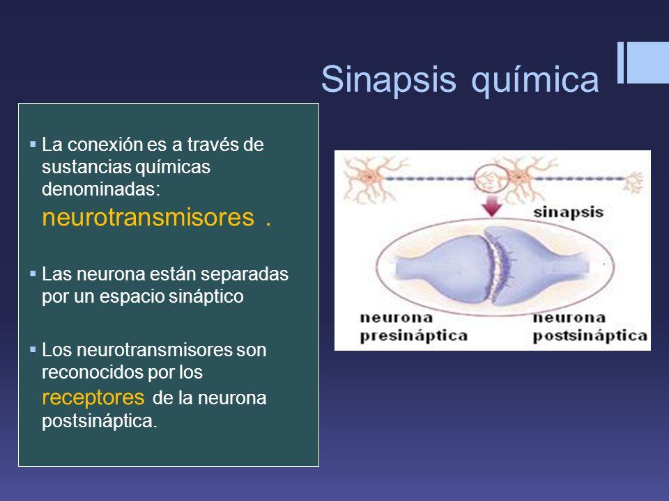 Sinapsis química La conexión es a través de sustancias químicas denominadas: neurotransmisores. Las neurona están separadas por un espacio sináptico L