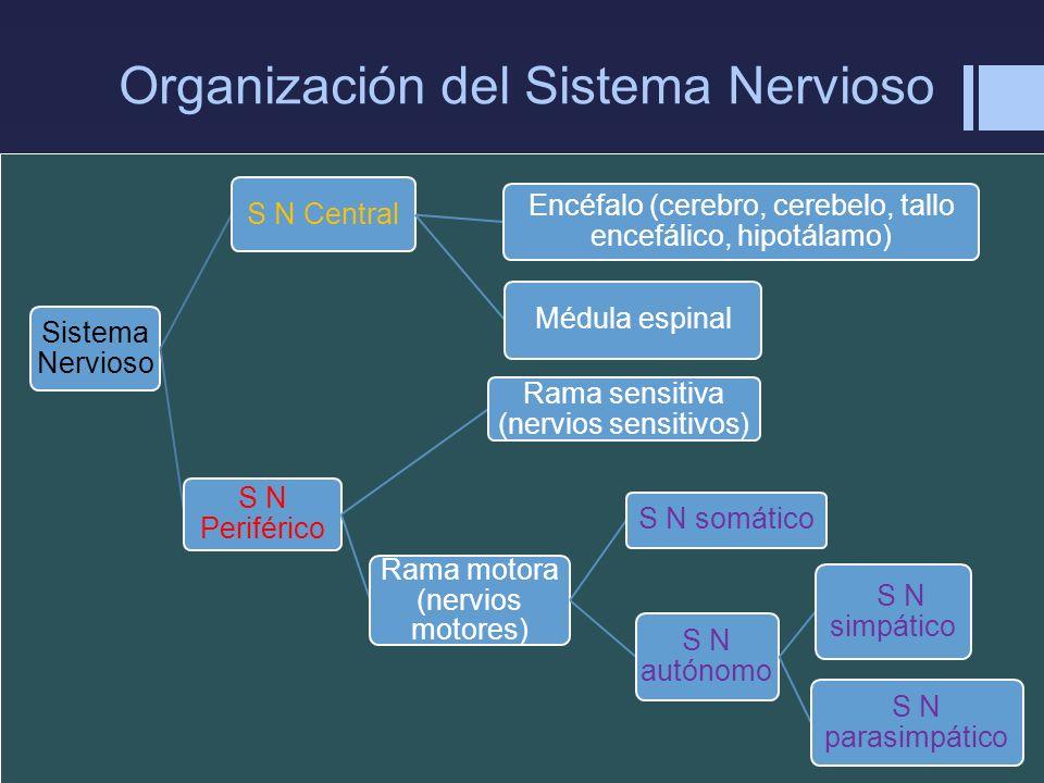 Organización del Sistema Nervioso Sistema Nervioso S N Central Encéfalo (cerebro, cerebelo, tallo encefálico, hipotálamo) Médula espinal S N Periféric