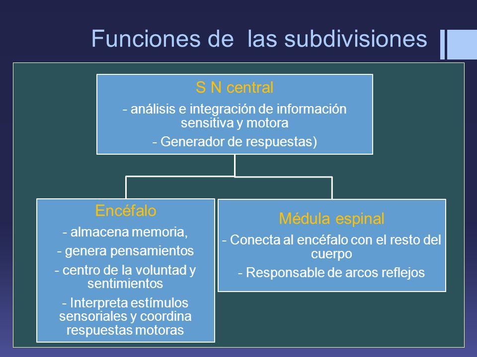 Funciones de las subdivisiones S N central - análisis e integración de información sensitiva y motora - Generador de respuestas) Encéfalo - almacena m