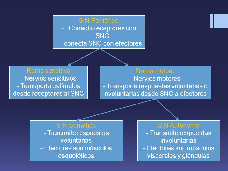 S N Periférico -Conecta receptores con SNC - conecta SNC con efectores Rama sensitiva - Nervios sensitivos - Transporta estímulos desde receptores al