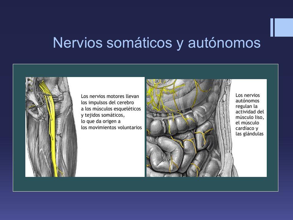 Nervios somáticos y autónomos