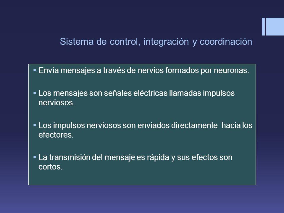 Sistema de control, integración y coordinación Envía mensajes a través de nervios formados por neuronas. Los mensajes son señales eléctricas llamadas