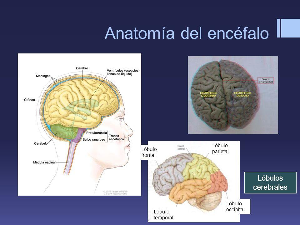 Anatomía del encéfalo Lóbulos cerebrales Lóbulo parietal Lóbulo temporal Lóbulo frontal Lóbulo occipital