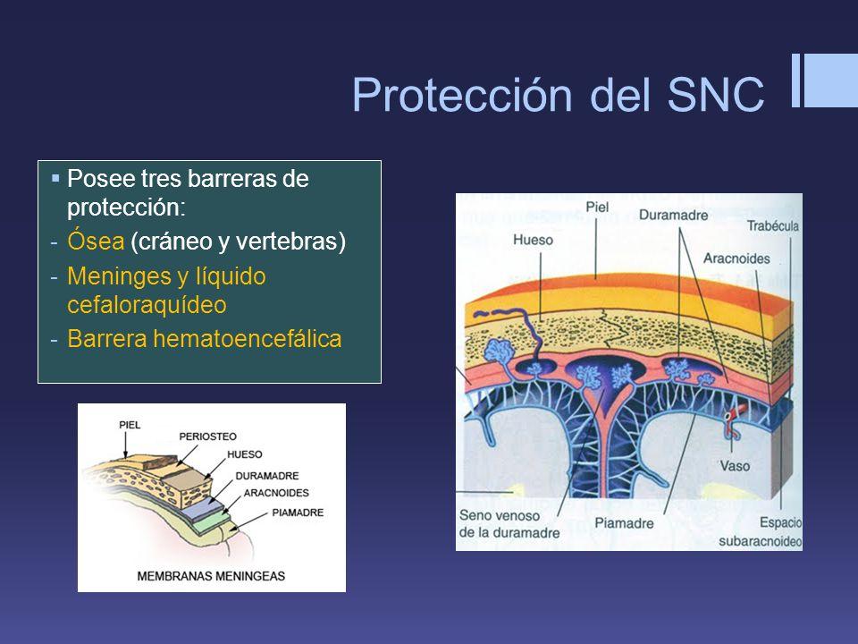 Protección del SNC Posee tres barreras de protección: -Ósea (cráneo y vertebras) -Meninges y líquido cefaloraquídeo -Barrera hematoencefálica