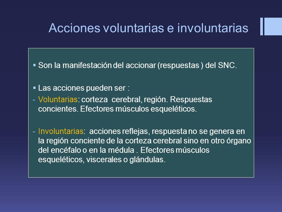 Acciones voluntarias e involuntarias Son la manifestación del accionar (respuestas ) del SNC. Las acciones pueden ser : -Voluntarias: corteza cerebral