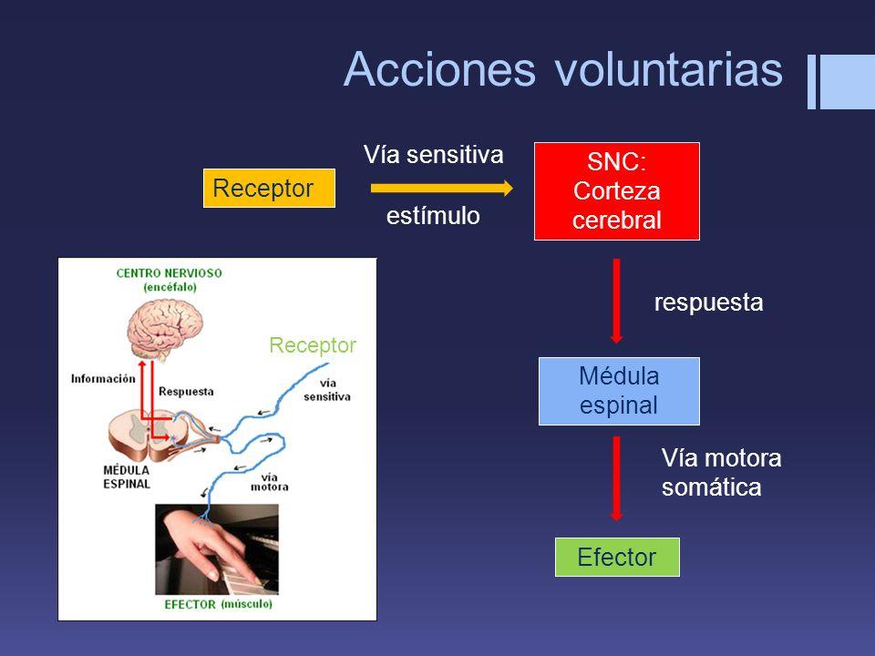 Acciones voluntarias Receptor SNC: Corteza cerebral Vía sensitiva Efector Médula espinal Vía motora somática respuesta estímulo Receptor