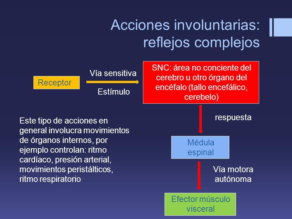 Acciones involuntarias: reflejos complejos Receptor Médula espinal SNC: área no conciente del cerebro u otro órgano del encéfalo (tallo encefálico, ce