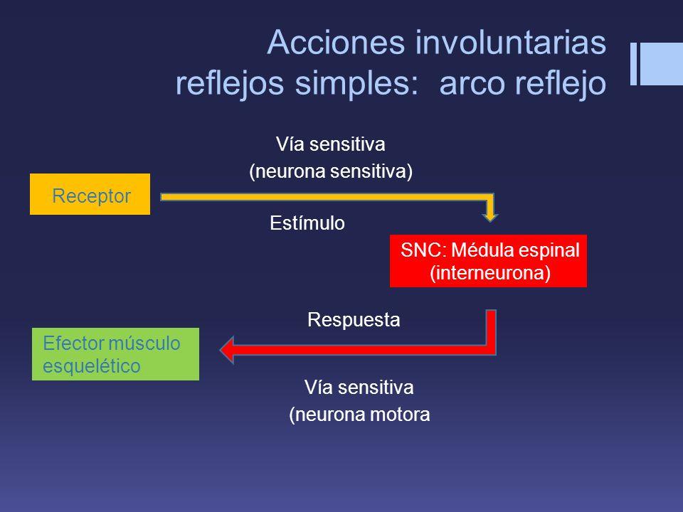 Acciones involuntarias reflejos simples: arco reflejo Receptor Estímulo SNC: Médula espinal (interneurona) Efector músculo esquelético Vía sensitiva (