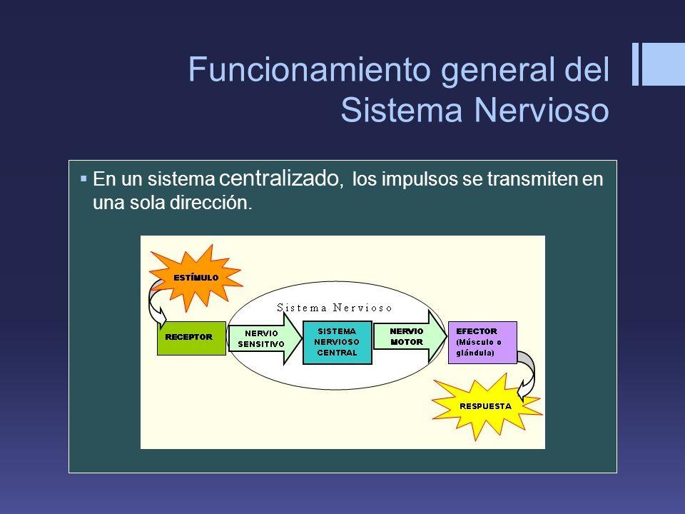 Funcionamiento general del Sistema Nervioso En un sistema centralizado, los impulsos se transmiten en una sola dirección.