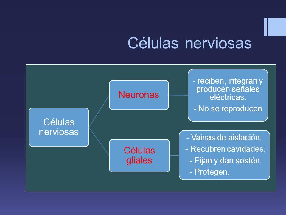 Células nerviosas Neuronas - reciben, integran y producen señales eléctricas. - No se reproducen Células gliales - Vainas de aislación. - Recubren cav