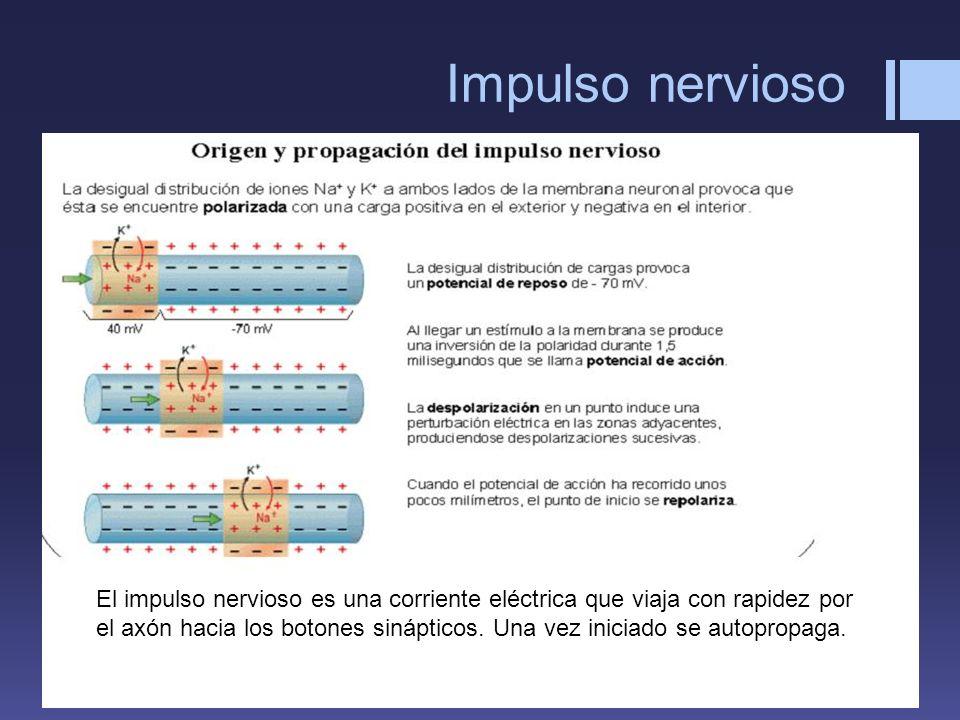Impulso nervioso El impulso nervioso es una corriente eléctrica que viaja con rapidez por el axón hacia los botones sinápticos. Una vez iniciado se au
