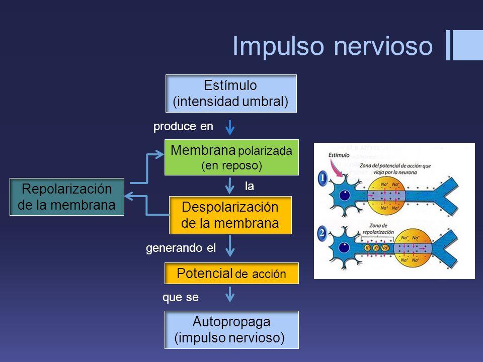 Impulso nervioso Estímulo (intensidad umbral) Membrana polarizada (en reposo) Despolarización de la membrana Potencial de acción Repolarización de la