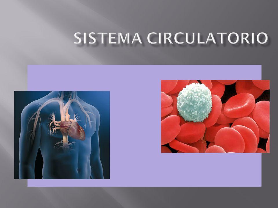 Transporte: Nutrientes Gases respiratorios (O 2 - CO 2 ) Desechos metabólicos Hormonas Anticuerpos Evitar hemorragias (coagulación sanguínea) Regulación de la temperatura corporal