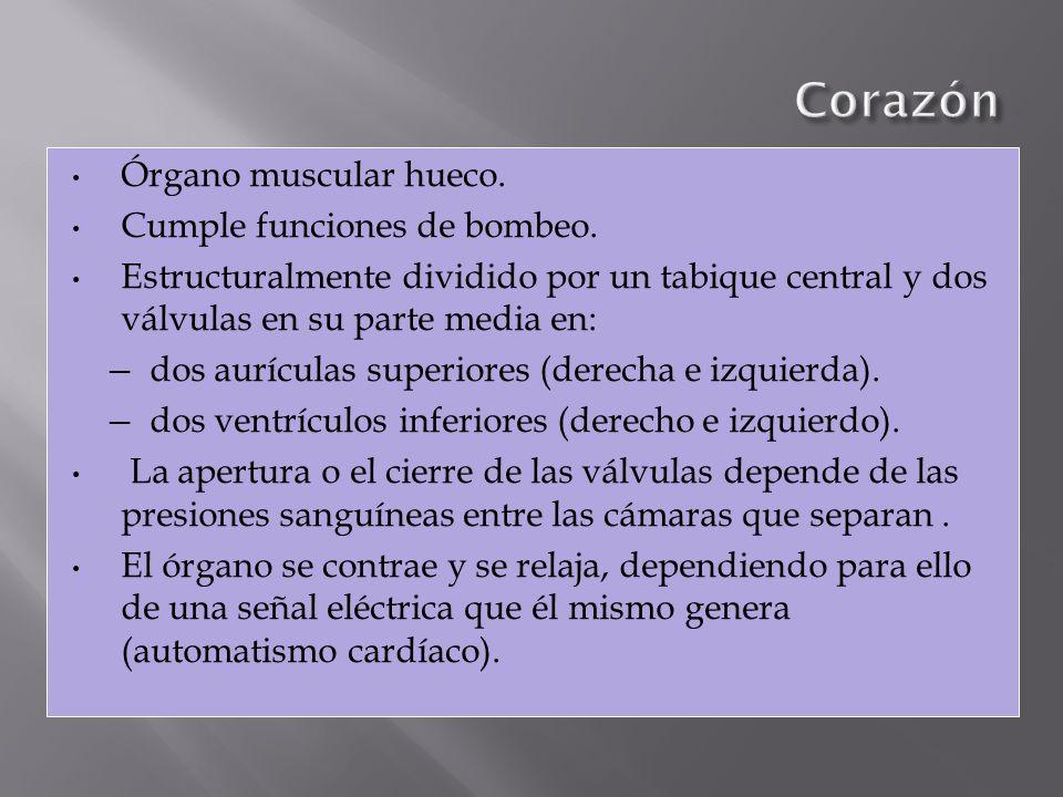 Órgano muscular hueco. Cumple funciones de bombeo. Estructuralmente dividido por un tabique central y dos válvulas en su parte media en: dos aurículas