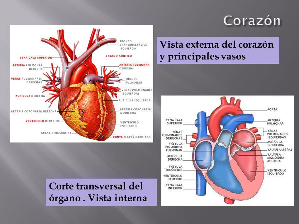 Vista externa del corazón y principales vasos Corte transversal del órgano. Vista interna