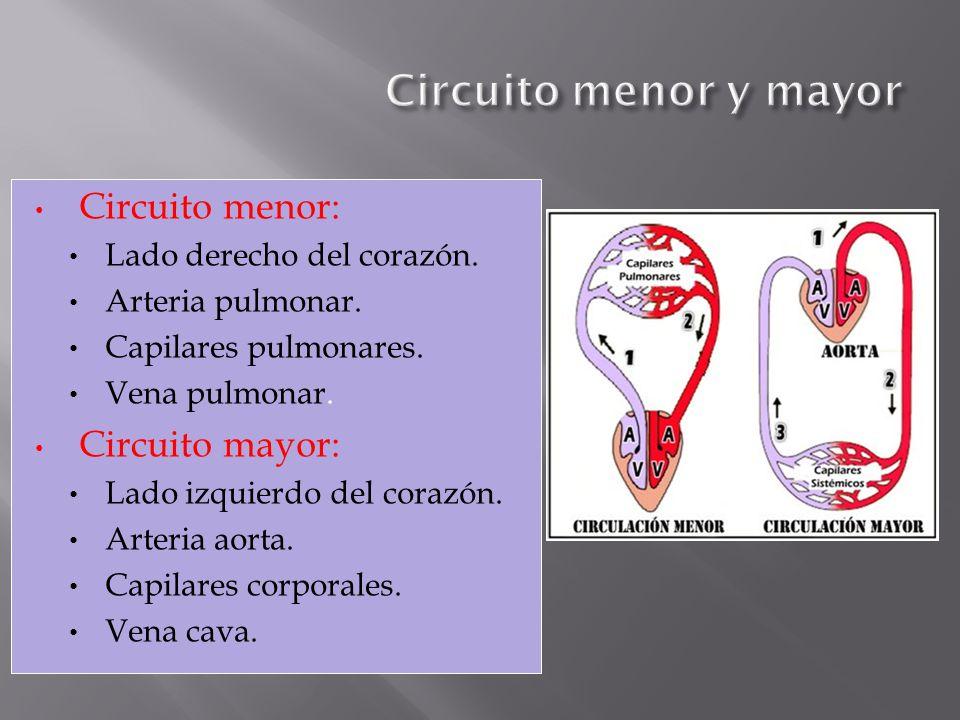Circuito menor: Lado derecho del corazón. Arteria pulmonar. Capilares pulmonares. Vena pulmonar. Circuito mayor: Lado izquierdo del corazón. Arteria a