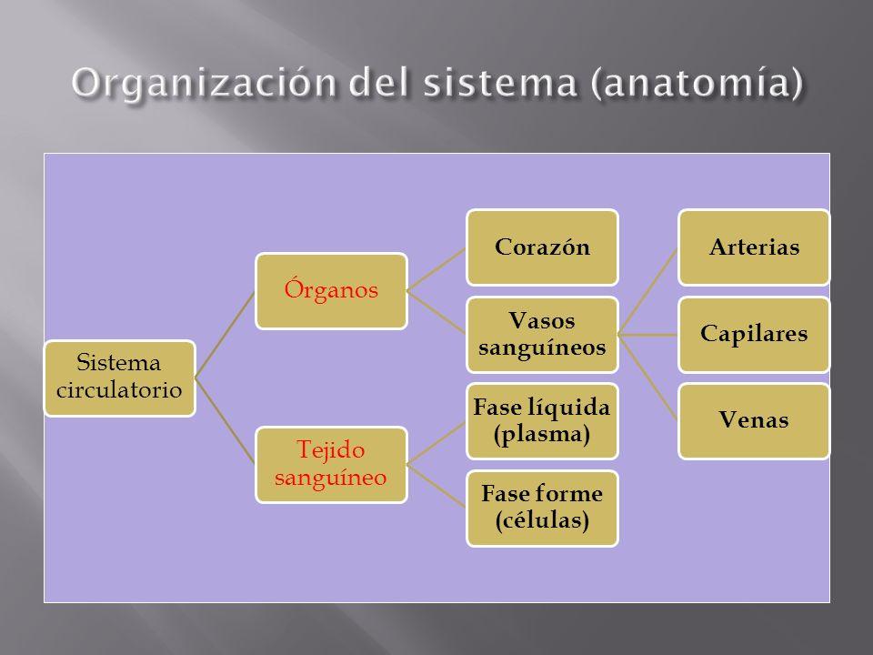 La circulación en el sr humano es: doble, cerrada y completa.