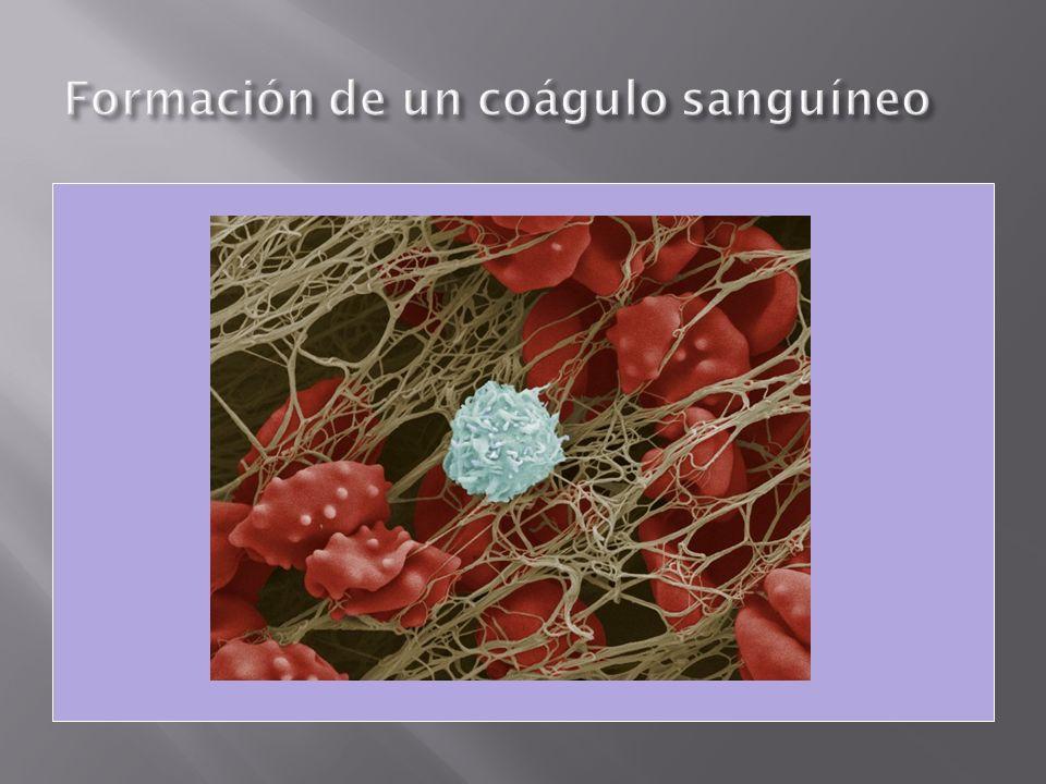 La estructura del sistema y de sus órganos está en relación a su principal función: el transporte Estructura de bombeo de sangre: Corazón Vías de transporte de sangre: vasos sanguíneos (arterias, capilares y venas)