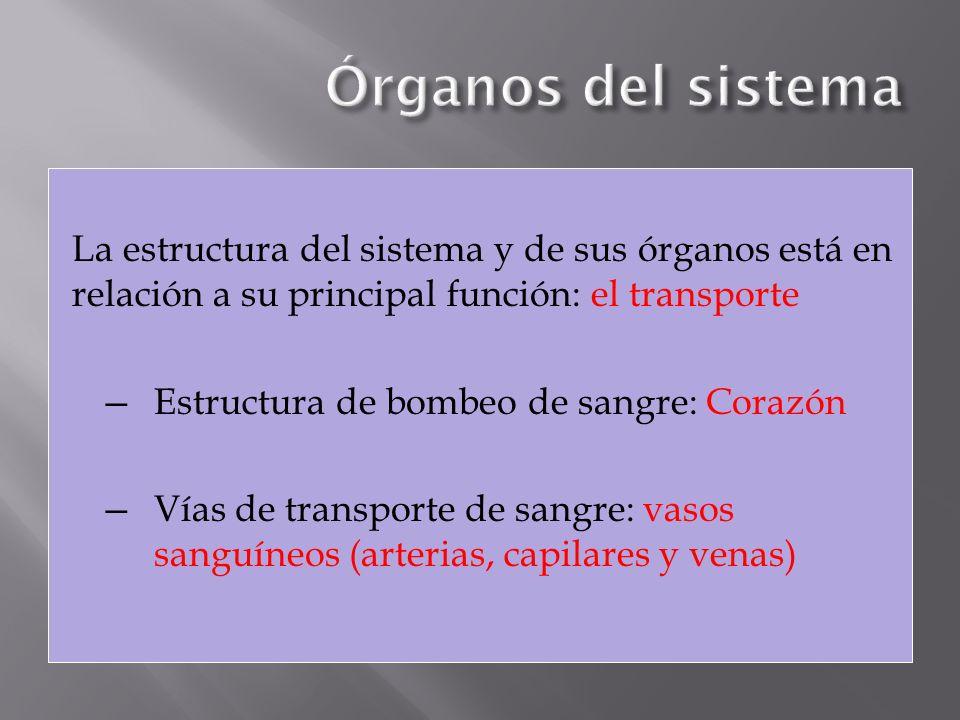 La estructura del sistema y de sus órganos está en relación a su principal función: el transporte Estructura de bombeo de sangre: Corazón Vías de tran