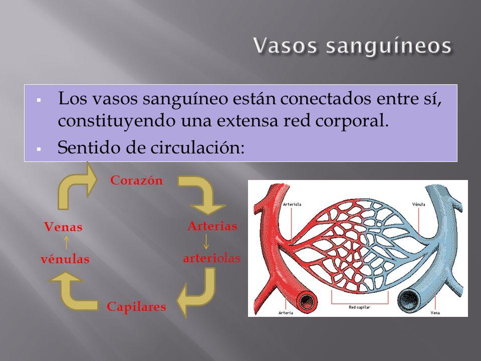 Los vasos sanguíneo están conectados entre sí, constituyendo una extensa red corporal. Sentido de circulación: Arterias arteri olas Corazón Venas vénu