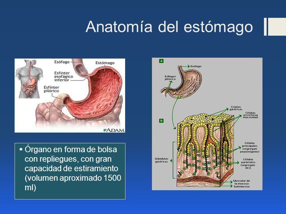 Anatomía del estómago Órgano en forma de bolsa con repliegues, con gran capacidad de estiramiento (volumen aproximado 1500 ml)