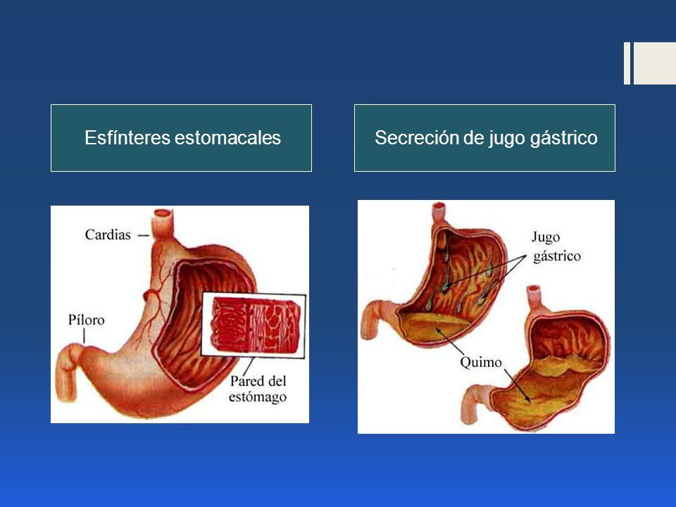 Esfínteres estomacalesSecreción de jugo gástrico