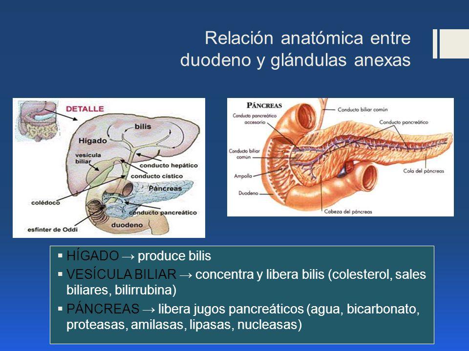 Relación anatómica entre duodeno y glándulas anexas HÍGADO produce bilis VESÍCULA BILIAR concentra y libera bilis (colesterol, sales biliares, bilirru