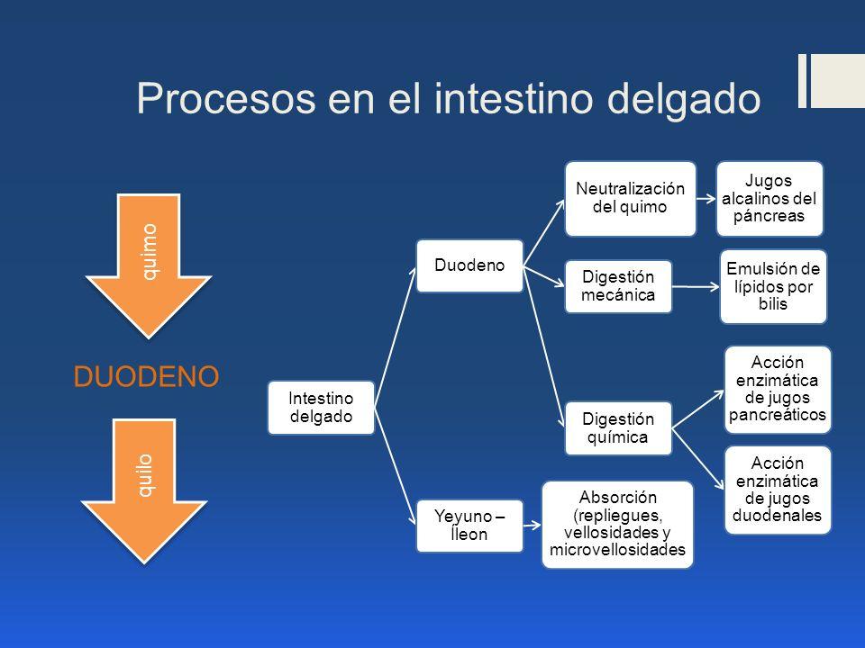 Procesos en el intestino delgado Intestino delgado Duodeno Neutralización del quimo Jugos alcalinos del páncreas Digestión mecánica Emulsión de lípido