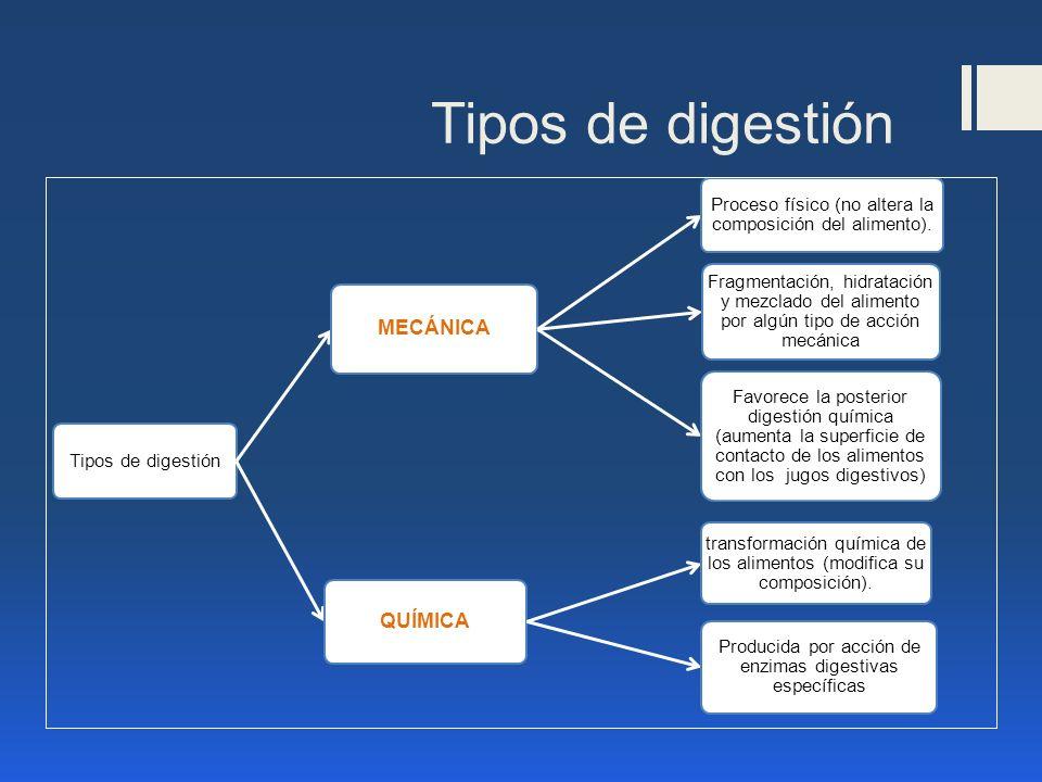 Tipos de digestión MECÁNICA Proceso físico (no altera la composición del alimento). Favorece la posterior digestión química (aumenta la superficie de