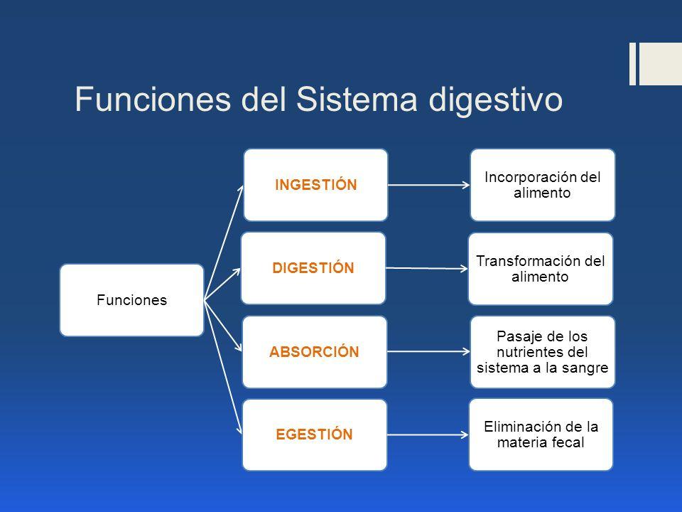 Funciones del Sistema digestivo FuncionesINGESTIÓN Incorporación del alimento DIGESTIÓN Transformación del alimento ABSORCIÓN Pasaje de los nutrientes