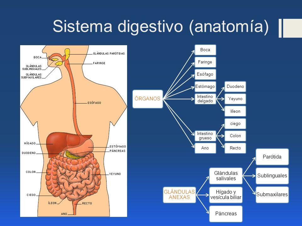 Sistema digestivo (anatomía) ÓRGANOS BocaFaringeEsófagoEstómago Intestino delgado DuodenoYeyunoIíleon Intestino grueso ciegoColonRectoAno GLÁNDULAS AN
